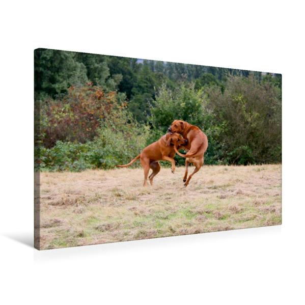 Premium Textil-Leinwand 75 cm x 50 cm quer, Ein Motiv aus dem Kalender Rhodesian Ridgeback Powerpaket | Wandbild, Bild auf Keilrahmen, Fertigbild auf echter Leinwand, Leinwanddruck - Coverbild