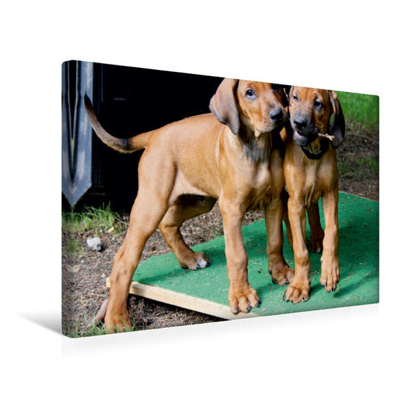 Premium Textil-Leinwand 45 cm x 30 cm quer, Ein Motiv aus dem Kalender Rhodesian Ridgeback - Afrikanische Löwenhunde   Wandbild, Bild auf Keilrahmen, Fertigbild auf echter Leinwand, Leinwanddruck - Coverbild