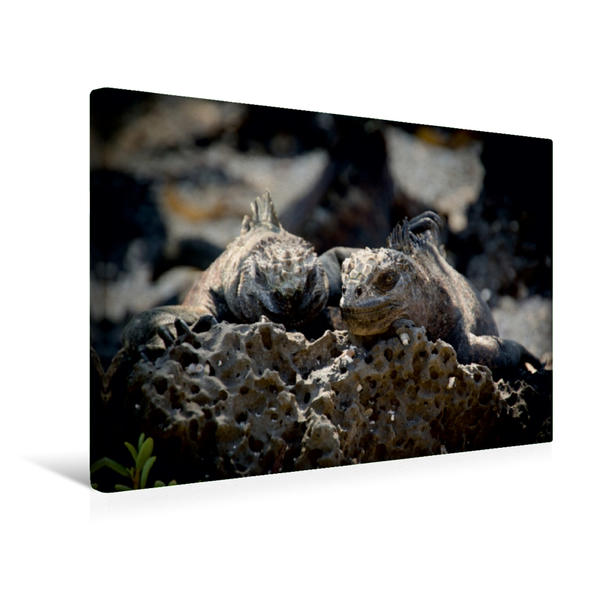 Premium Textil-Leinwand 45 cm x 30 cm quer, Ein Motiv aus dem Kalender Leguane auf Galapagos   Wandbild, Bild auf Keilrahmen, Fertigbild auf echter Leinwand, Leinwanddruck - Coverbild