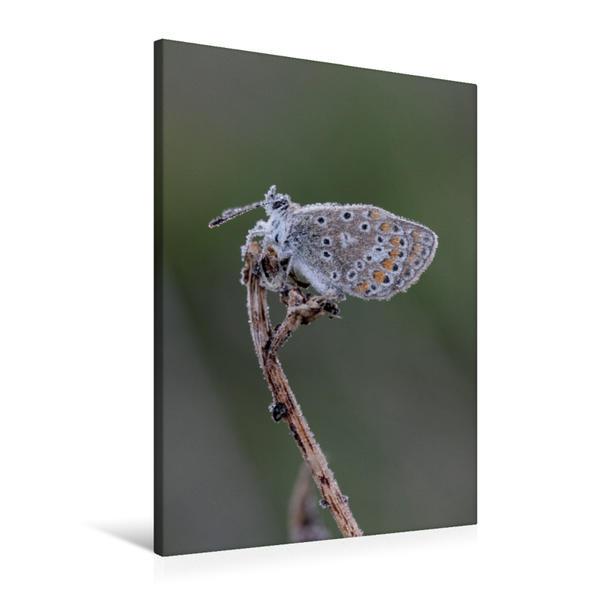 Premium Textil-Leinwand 60 cm x 90 cm hoch, Ein Motiv aus dem Kalender Schmetterlinge in Thüringen   Wandbild, Bild auf Keilrahmen, Fertigbild auf echter Leinwand, Leinwanddruck - Coverbild