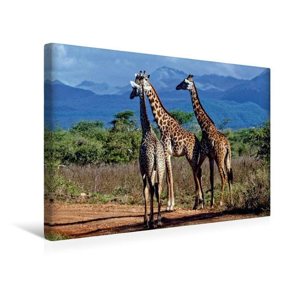 Premium Textil-Leinwand 45 cm x 30 cm quer, Giraffen. Faszinierende Wildtiere Afrikas   Wandbild, Bild auf Keilrahmen, Fertigbild auf echter Leinwand, Leinwanddruck - Coverbild