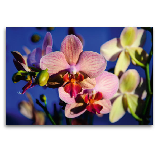 Premium Textil-Leinwand 120 cm x 80 cm quer, Phalaenopsis Hybride | Wandbild, Bild auf Keilrahmen, Fertigbild auf echter Leinwand, Leinwanddruck - Coverbild
