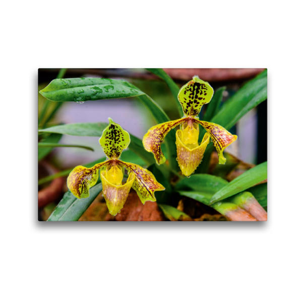Premium Textil-Leinwand 45 cm x 30 cm quer, Paphiopedilum spec. | Wandbild, Bild auf Keilrahmen, Fertigbild auf echter Leinwand, Leinwanddruck - Coverbild