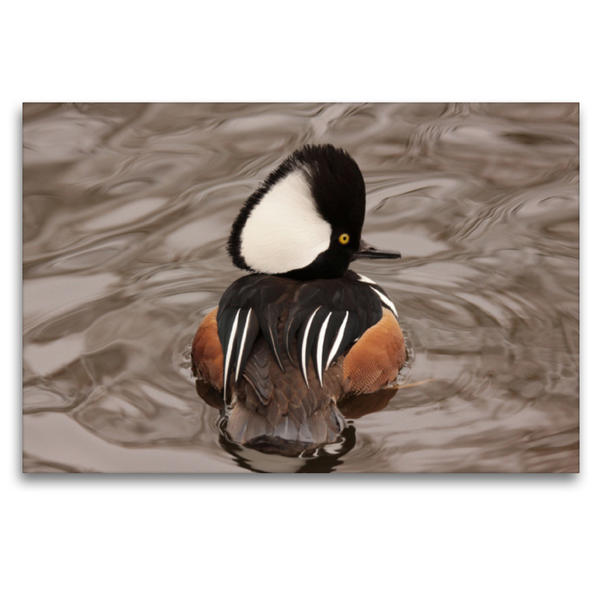 Premium Textil-Leinwand 120 cm x 80 cm quer, Kappensäger Männchen | Wandbild, Bild auf Keilrahmen, Fertigbild auf echter Leinwand, Leinwanddruck - Coverbild