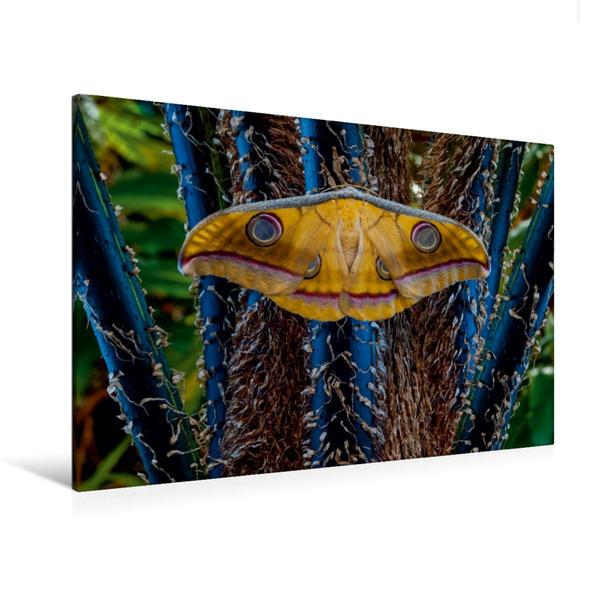 Premium Textil-Leinwand 120 cm x 80 cm quer, Tussaspinner Antheraea mylitta, Asien | Wandbild, Bild auf Keilrahmen, Fertigbild auf echter Leinwand, Leinwanddruck - Coverbild