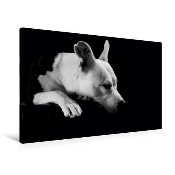 Premium Textil-Leinwand 75 cm x 50 cm quer, Cheyenne - American Stafford x Dogo Argentino-Mix, 2 Jahre | Wandbild, Bild auf Keilrahmen, Fertigbild auf echter Leinwand, Leinwanddruck - Coverbild