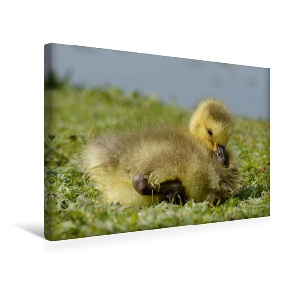 Premium Textil-Leinwand 45 cm x 30 cm quer, Ein Motiv aus dem Kalender Kleine Gänschen entdecken ihre Welt | Wandbild, Bild auf Keilrahmen, Fertigbild auf echter Leinwand, Leinwanddruck - Coverbild