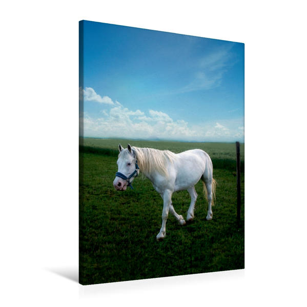 Premium Textil-Leinwand 60 cm x 90 cm hoch, Weißes Pferd   Wandbild, Bild auf Keilrahmen, Fertigbild auf echter Leinwand, Leinwanddruck - Coverbild