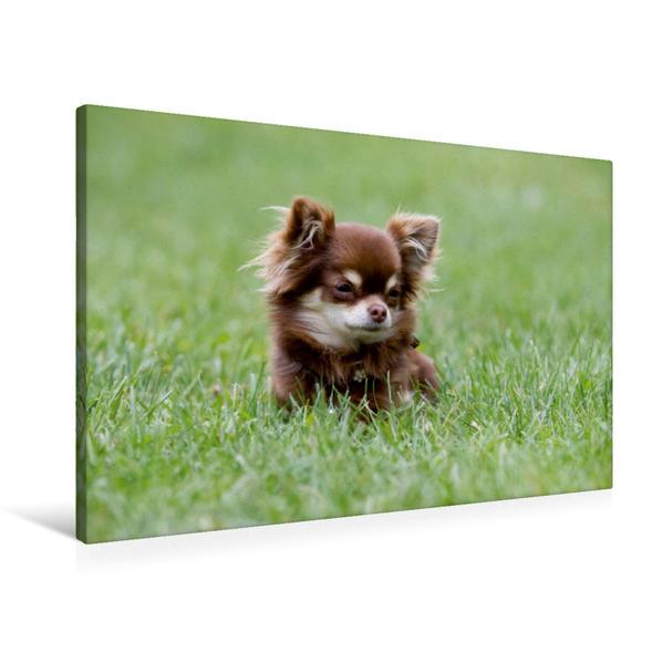 Premium Textil-Leinwand 90 cm x 60 cm quer, Ein Motiv aus dem Kalender Chihuahuas - kleine Herzensbrecher | Wandbild, Bild auf Keilrahmen, Fertigbild auf echter Leinwand, Leinwanddruck - Coverbild
