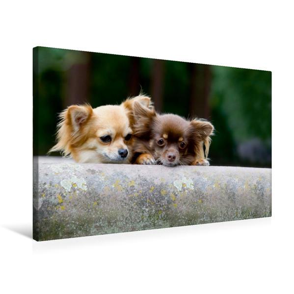 Premium Textil-Leinwand 75 cm x 50 cm quer, Ein Motiv aus dem Kalender Chihuahuas - kleine Herzensbrecher | Wandbild, Bild auf Keilrahmen, Fertigbild auf echter Leinwand, Leinwanddruck - Coverbild
