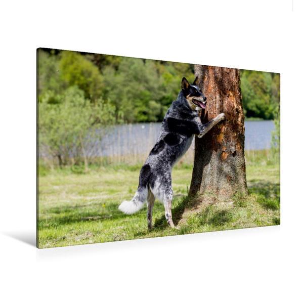 Premium Textil-Leinwand 120 cm x 80 cm quer, Ein Motiv aus dem Kalender Spaziergang am See Australian Cattle Dogs | Wandbild, Bild auf Keilrahmen, Fertigbild auf echter Leinwand, Leinwanddruck - Coverbild