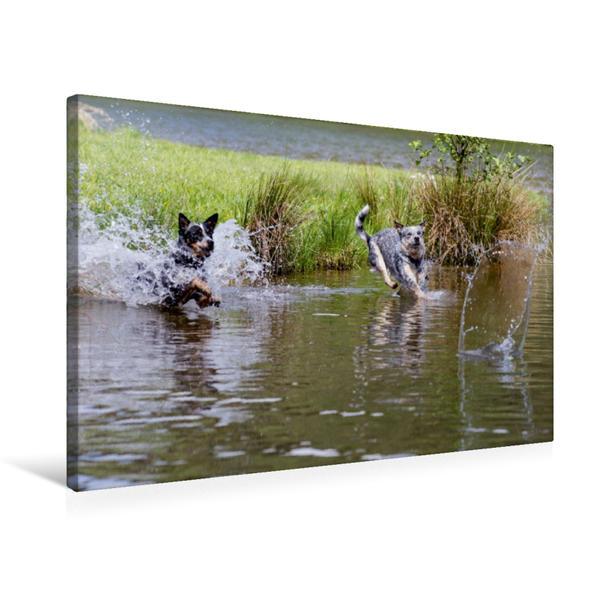Premium Textil-Leinwand 75 cm x 50 cm quer, Ein Motiv aus dem Kalender Spaziergang am See Australian Cattle Dogs | Wandbild, Bild auf Keilrahmen, Fertigbild auf echter Leinwand, Leinwanddruck - Coverbild