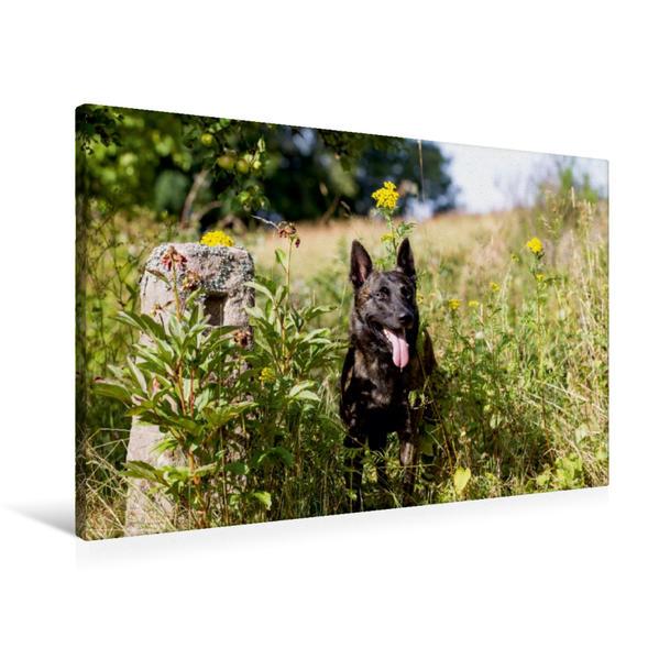 Premium Textil-Leinwand 90 cm x 60 cm quer, Ein Motiv aus dem Kalender ausdrucksvolle Holländische Schäferhunde | Wandbild, Bild auf Keilrahmen, Fertigbild auf echter Leinwand, Leinwanddruck - Coverbild