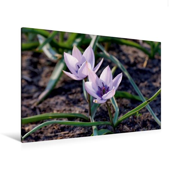 Premium Textil-Leinwand 120 cm x 80 cm quer, Tulipa Alba Coerulea Oculata | Wandbild, Bild auf Keilrahmen, Fertigbild auf echter Leinwand, Leinwanddruck - Coverbild