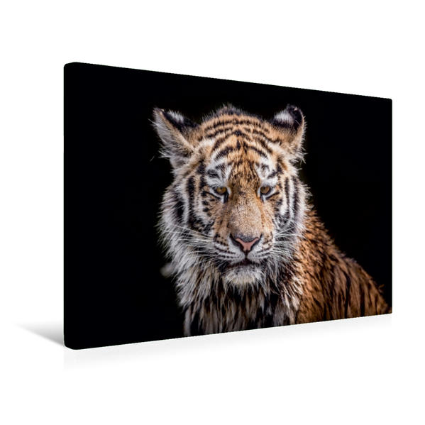 Premium Textil-Leinwand 45 cm x 30 cm quer, Ein junger Tiger nach dem Wasserbad | Wandbild, Bild auf Keilrahmen, Fertigbild auf echter Leinwand, Leinwanddruck - Coverbild