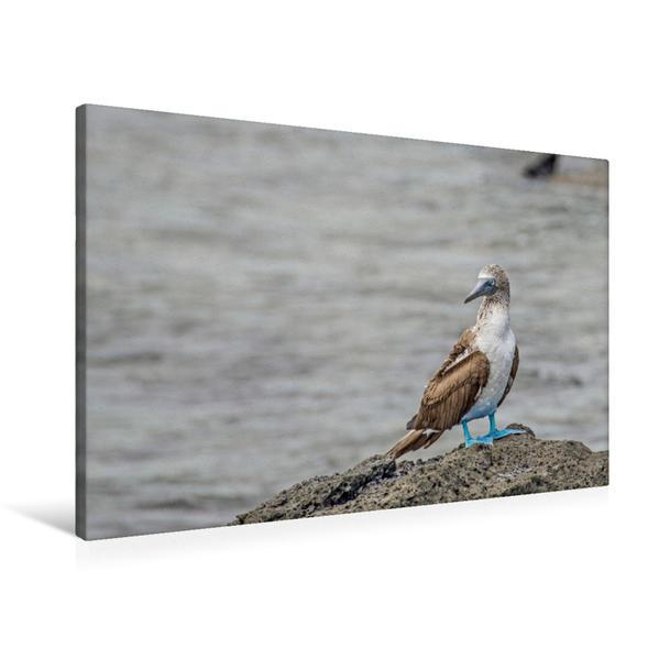 Premium Textil-Leinwand 90 cm x 60 cm quer, Blaufusstölpel   Wandbild, Bild auf Keilrahmen, Fertigbild auf echter Leinwand, Leinwanddruck - Coverbild