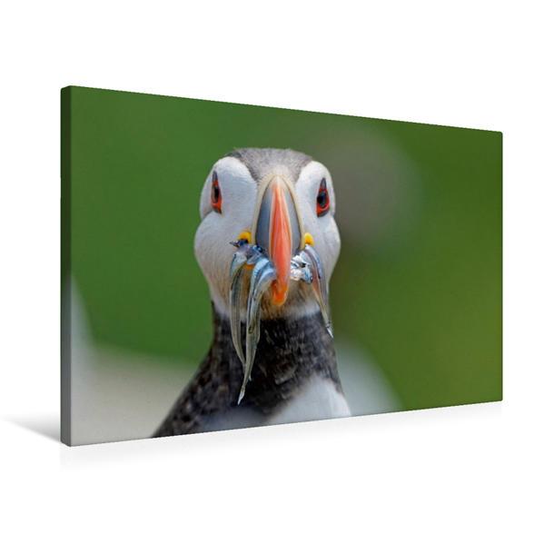 Premium Textil-Leinwand 75 cm x 50 cm quer, Papageitaucher   Wandbild, Bild auf Keilrahmen, Fertigbild auf echter Leinwand, Leinwanddruck - Coverbild
