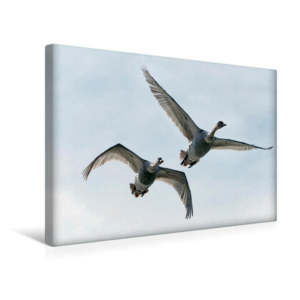 Premium Textil-Leinwand 45 cm x 30 cm quer, Ein Motiv aus dem Kalender Schwäne im Flug | Wandbild, Bild auf Keilrahmen, Fertigbild auf echter Leinwand, Leinwanddruck - Coverbild