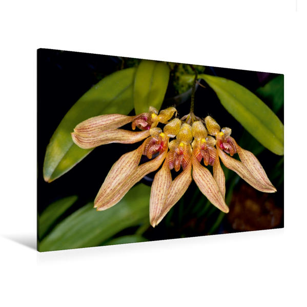 Premium Textil-Leinwand 120 cm x 80 cm quer, Bulbophyllum annandalaei   Wandbild, Bild auf Keilrahmen, Fertigbild auf echter Leinwand, Leinwanddruck - Coverbild