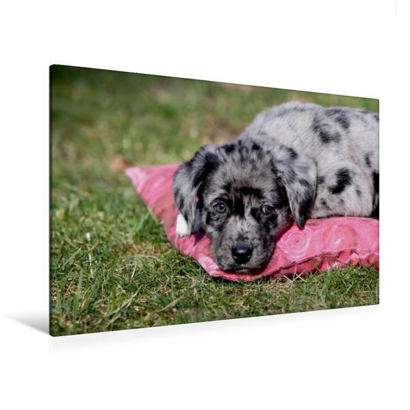Premium Textil-Leinwand 120 cm x 80 cm quer, Australian Shepherd Mischlingswelpe | Wandbild, Bild auf Keilrahmen, Fertigbild auf echter Leinwand, Leinwanddruck - Coverbild