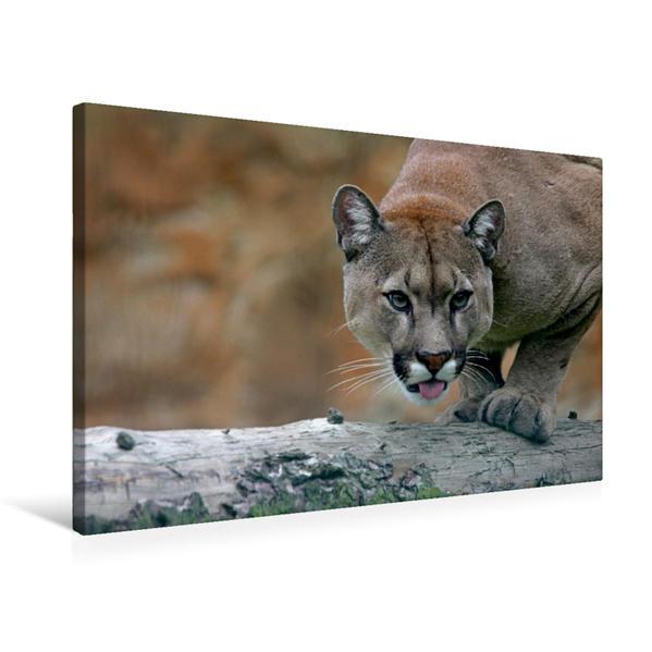 Premium Textil-Leinwand 75 cm x 50 cm quer, Puma | Wandbild, Bild auf Keilrahmen, Fertigbild auf echter Leinwand, Leinwanddruck - Coverbild