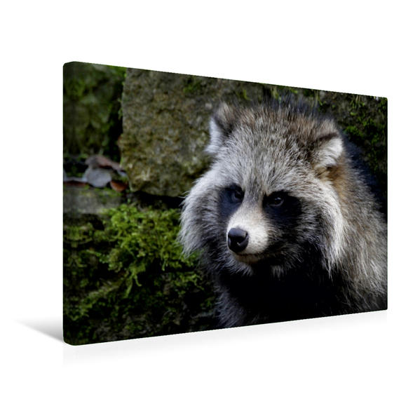 Premium Textil-Leinwand 45 cm x 30 cm quer, Marderhund | Wandbild, Bild auf Keilrahmen, Fertigbild auf echter Leinwand, Leinwanddruck - Coverbild