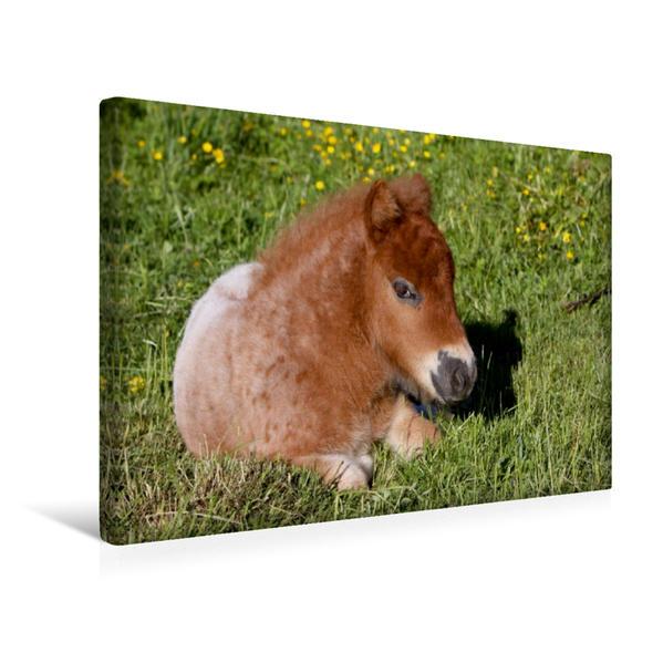 Premium Textil-Leinwand 45 cm x 30 cm quer, Liegendes Pony-Fohlen | Wandbild, Bild auf Keilrahmen, Fertigbild auf echter Leinwand, Leinwanddruck - Coverbild