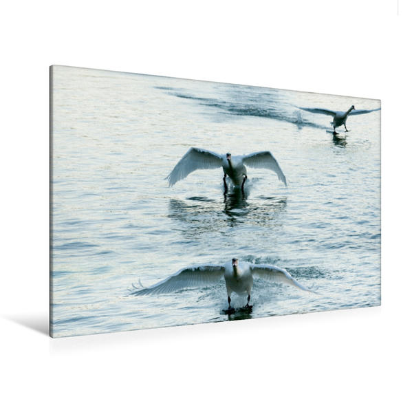 Premium Textil-Leinwand 120 cm x 80 cm quer, Ein Motiv aus dem Kalender Schwäne im Flug   Wandbild, Bild auf Keilrahmen, Fertigbild auf echter Leinwand, Leinwanddruck - Coverbild