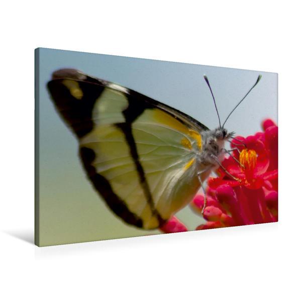 Premium Textil-Leinwand 90 cm x 60 cm quer, Melete salacia | Wandbild, Bild auf Keilrahmen, Fertigbild auf echter Leinwand, Leinwanddruck - Coverbild