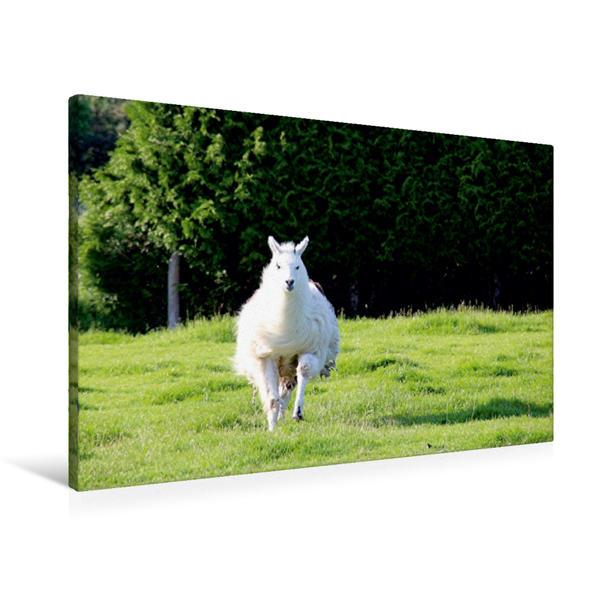 Premium Textil-Leinwand 90 cm x 60 cm quer, Lama Galopp | Wandbild, Bild auf Keilrahmen, Fertigbild auf echter Leinwand, Leinwanddruck - Coverbild
