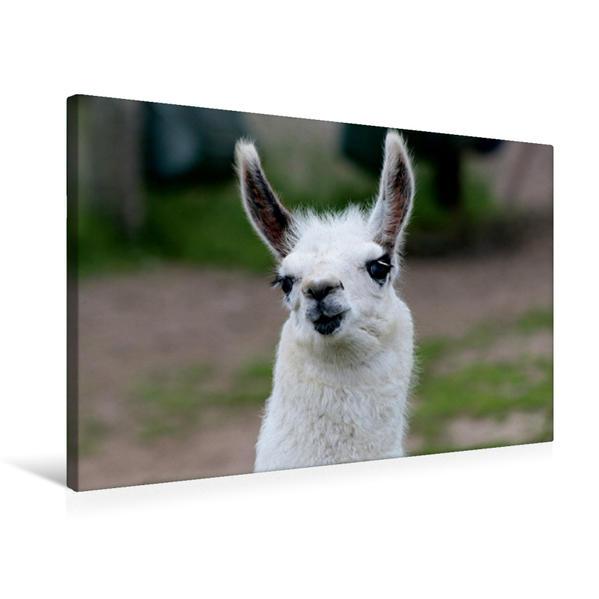 Premium Textil-Leinwand 75 cm x 50 cm quer, Lama Unschult | Wandbild, Bild auf Keilrahmen, Fertigbild auf echter Leinwand, Leinwanddruck - Coverbild