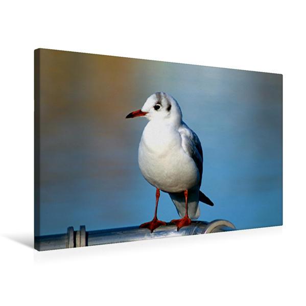 Premium Textil-Leinwand 75 cm x 50 cm quer, Möwen Pick | Wandbild, Bild auf Keilrahmen, Fertigbild auf echter Leinwand, Leinwanddruck - Coverbild