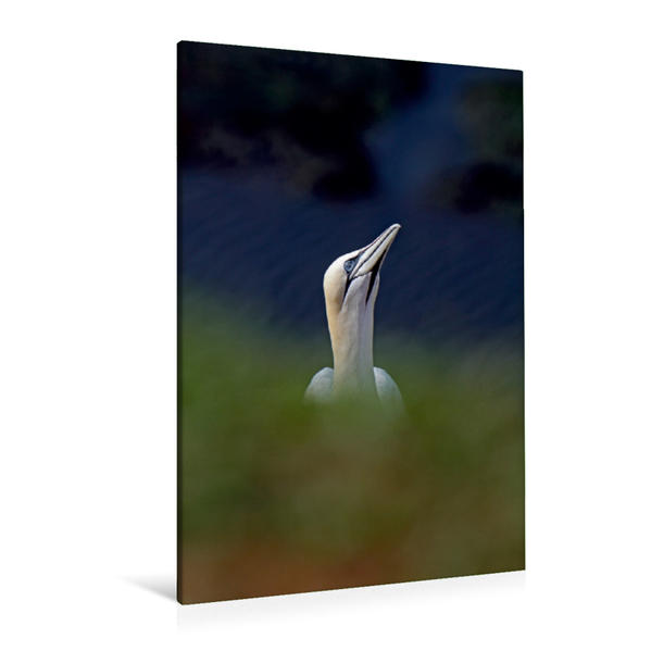 Premium Textil-Leinwand 80 cm x 120 cm  hoch, Basstölpel am Vogelfelsen auf Helgoland | Wandbild, Bild auf Keilrahmen, Fertigbild auf echter Leinwand, Leinwanddruck - Coverbild