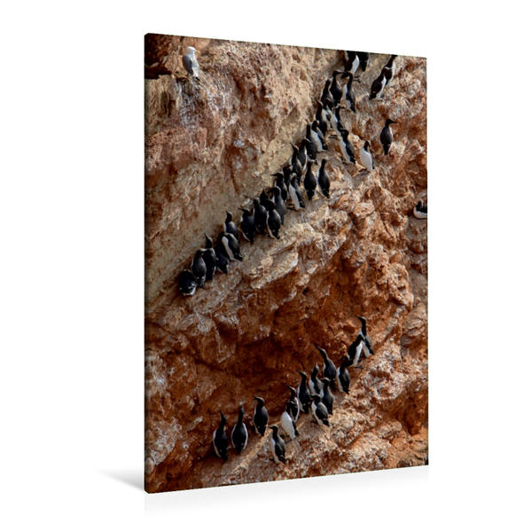 Premium Textil-Leinwand 80 cm x 120 cm  hoch, Trottellummen auf Helgoland | Wandbild, Bild auf Keilrahmen, Fertigbild auf echter Leinwand, Leinwanddruck - Coverbild