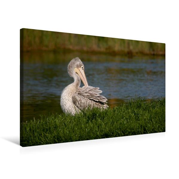 Premium Textil-Leinwand 75 cm x 50 cm quer, Krauskopfpelikan an einem Seeufer | Wandbild, Bild auf Keilrahmen, Fertigbild auf echter Leinwand, Leinwanddruck - Coverbild