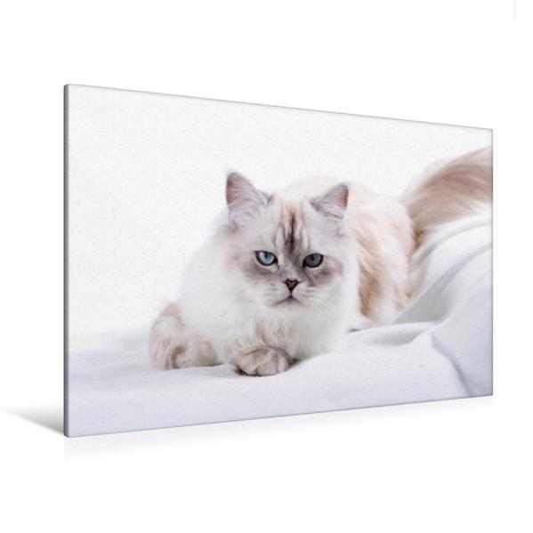 Premium Textil-Leinwand 120 cm x 80 cm quer, Perser Katze | Wandbild, Bild auf Keilrahmen, Fertigbild auf echter Leinwand, Leinwanddruck - Coverbild