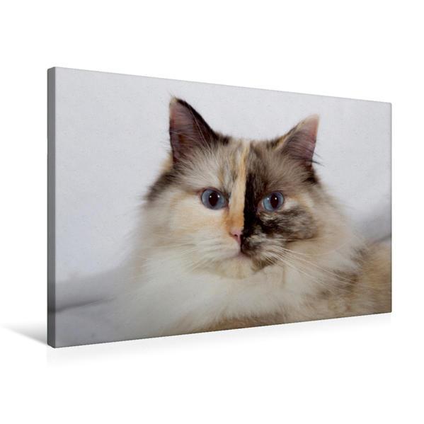 Premium Textil-Leinwand 75 cm x 50 cm quer, Ein Motiv aus dem Kalender Ragdolls   Wandbild, Bild auf Keilrahmen, Fertigbild auf echter Leinwand, Leinwanddruck - Coverbild