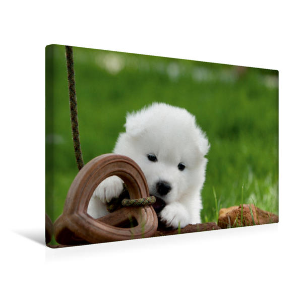 Premium Textil-Leinwand 45 cm x 30 cm quer, Ein Motiv aus dem Kalender Samojeden Welpen | Wandbild, Bild auf Keilrahmen, Fertigbild auf echter Leinwand, Leinwanddruck - Coverbild