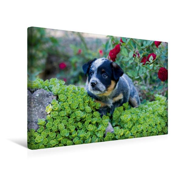 Premium Textil-Leinwand 45 cm x 30 cm quer, Ein Motiv aus dem Kalender Niedliche Australian Cattle Dog Welpen | Wandbild, Bild auf Keilrahmen, Fertigbild auf echter Leinwand, Leinwanddruck - Coverbild