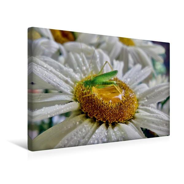 Premium Textil-Leinwand 45 cm x 30 cm quer, Eichenschrecke | Wandbild, Bild auf Keilrahmen, Fertigbild auf echter Leinwand, Leinwanddruck - Coverbild