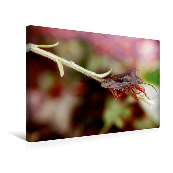 Premium Textil-Leinwand 45 cm x 30 cm quer, Dornwanze | Wandbild, Bild auf Keilrahmen, Fertigbild auf echter Leinwand, Leinwanddruck - Coverbild