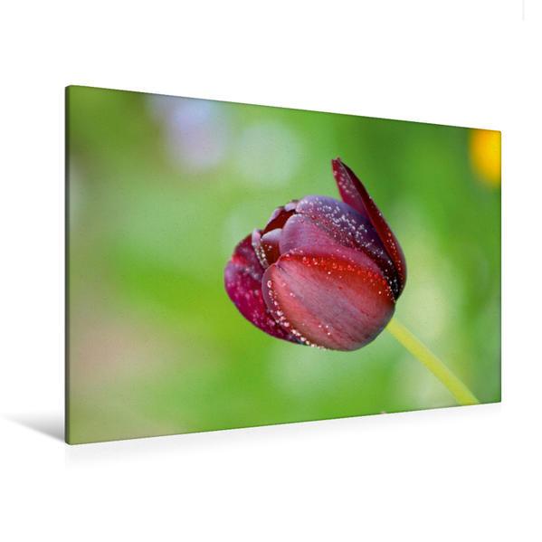 Premium Textil-Leinwand 120 cm x 80 cm quer, Tulpe mit Regentropfen | Wandbild, Bild auf Keilrahmen, Fertigbild auf echter Leinwand, Leinwanddruck - Coverbild