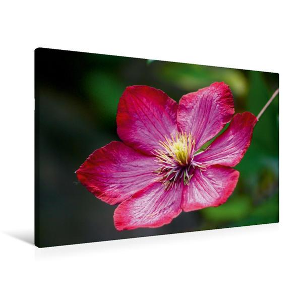 Premium Textil-Leinwand 90 cm x 60 cm quer, Clematisblüte | Wandbild, Bild auf Keilrahmen, Fertigbild auf echter Leinwand, Leinwanddruck - Coverbild