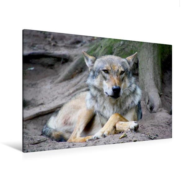 Premium Textil-Leinwand 120 cm x 80 cm quer, Der Wolf beobachtet die Umgebung | Wandbild, Bild auf Keilrahmen, Fertigbild auf echter Leinwand, Leinwanddruck - Coverbild