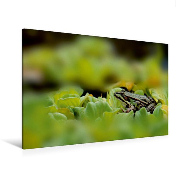 Premium Textil-Leinwand 120 cm x 80 cm quer, Kleiner Frosch im Teich   Wandbild, Bild auf Keilrahmen, Fertigbild auf echter Leinwand, Leinwanddruck - Coverbild