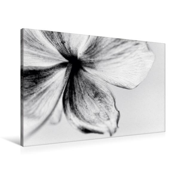 Premium Textil-Leinwand 90 cm x 60 cm quer, Cosmea | Wandbild, Bild auf Keilrahmen, Fertigbild auf echter Leinwand, Leinwanddruck - Coverbild