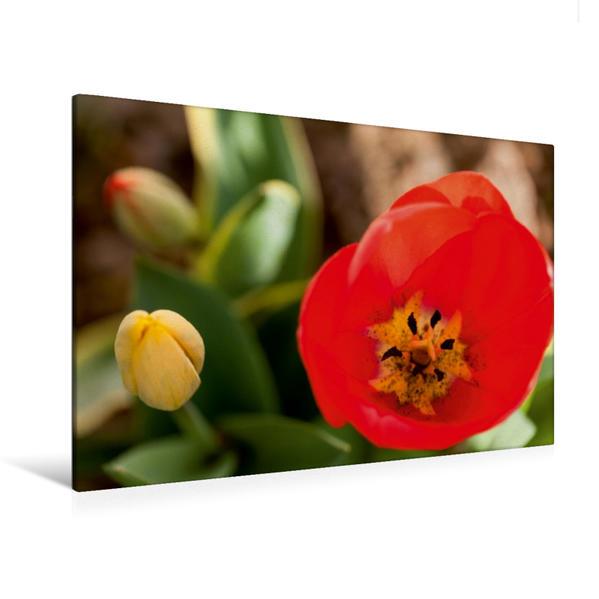 Premium Textil-Leinwand 120 cm x 80 cm quer, Frühlingstulpen   Wandbild, Bild auf Keilrahmen, Fertigbild auf echter Leinwand, Leinwanddruck - Coverbild
