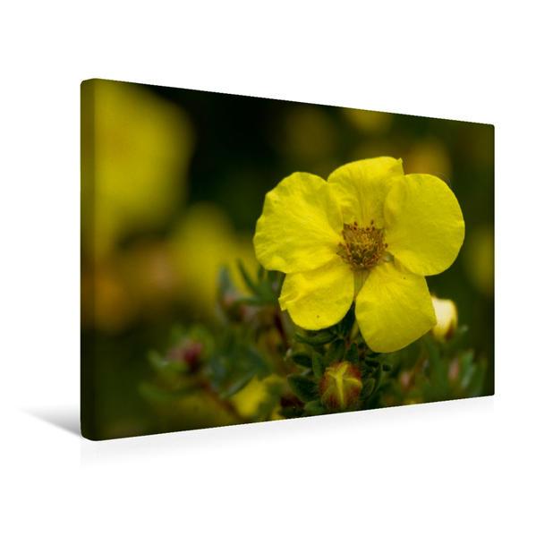 Premium Textil-Leinwand 45 cm x 30 cm quer, Blüte des Fünffingerstrauchs | Wandbild, Bild auf Keilrahmen, Fertigbild auf echter Leinwand, Leinwanddruck - Coverbild
