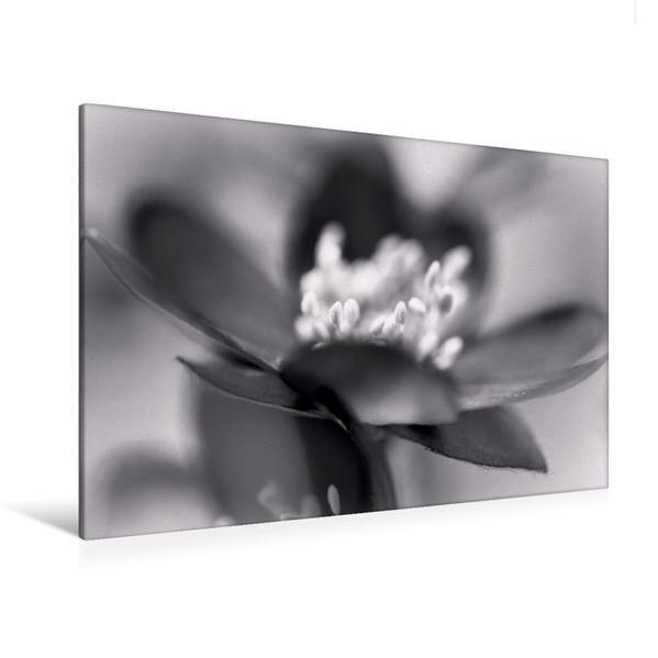 Premium Textil-Leinwand 120 cm x 80 cm quer, Leberblümchen | Wandbild, Bild auf Keilrahmen, Fertigbild auf echter Leinwand, Leinwanddruck - Coverbild