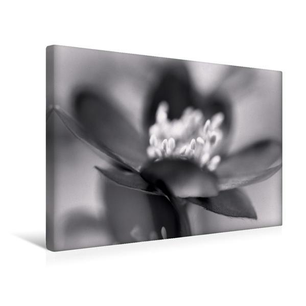 Premium Textil-Leinwand 45 cm x 30 cm quer, Leberblümchen | Wandbild, Bild auf Keilrahmen, Fertigbild auf echter Leinwand, Leinwanddruck - Coverbild